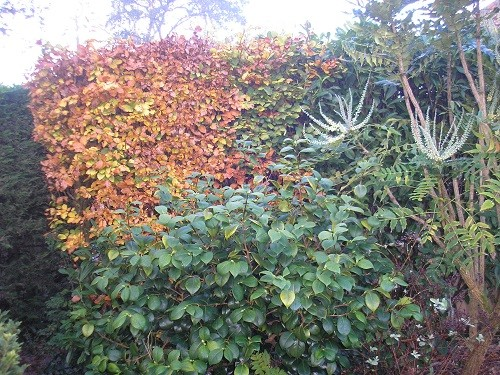 Hiding the wheelie bin is the beech hedge with a camellia and mahonia for company.