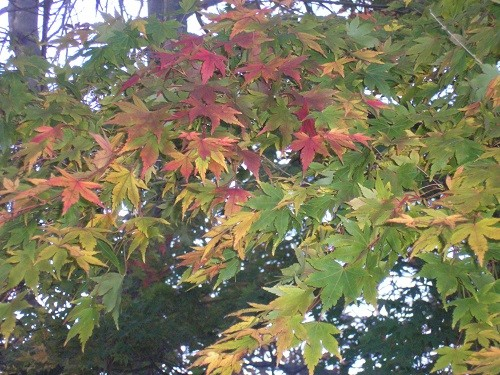 This Acer was here when we came and usually just turns orange, but this year it has developed quite a number of red patches.