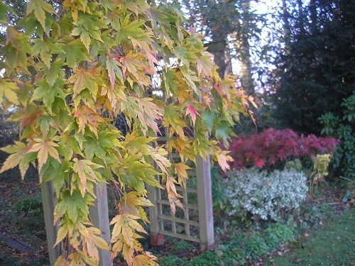 In the background is Acer palmatum Osakazuki, contrasting with the orange Acer in the foreground.
