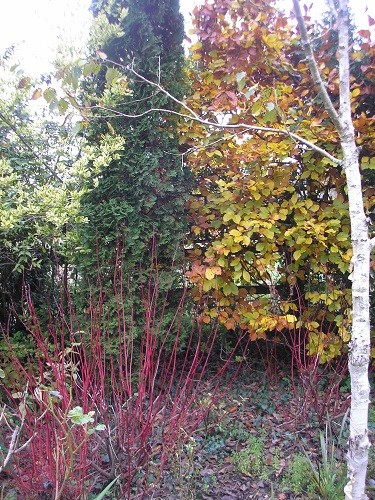 In the border by the field is a Betula Jaquemontii with some more red stemmed  Cornus, beech, conifer and variegated privet.
