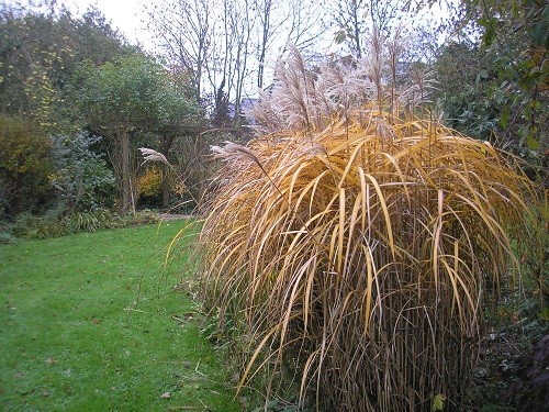 Forming a golden cascade is Miscanthus sinensis Malepartus. The purple flower spikes are now bleached to pale fawn but it is the foliage which now vies for attention.