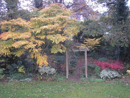 I managed to get all three Acers into one photo from an upstairs window. At the back of the woodland is Acer Sango- kaku.