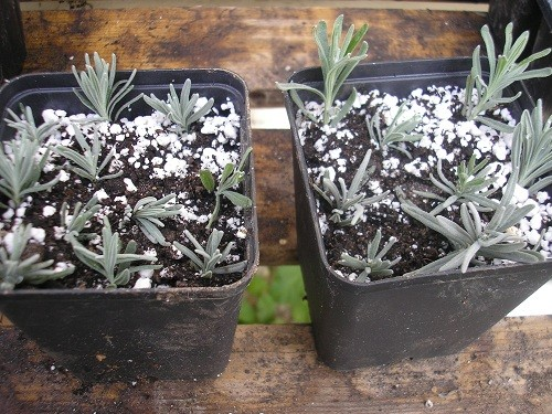Lavender cuttings
