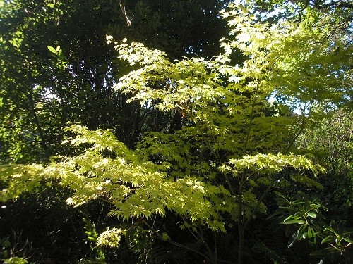 The far side of the woodland has a large Bay bush which sets off Acer Sango kaku in front of it. The green leaves of summer change to a buttery yellow.