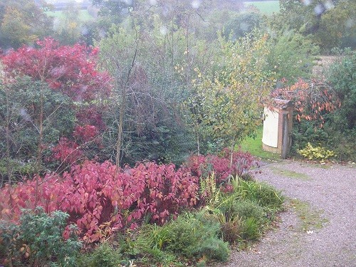 The view from the landing window of the front drive. Cornus are showing their beautiful beetroot coloured leaves.
