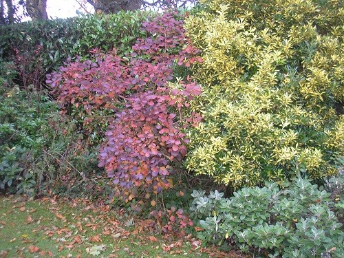 The Cotinus in the back garden has changed from deep purple to a lighter maroon. Here with euonymous and senecio