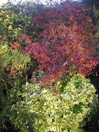 By the garage in the front garden, forming a wind break from the north wind for the roses, is a purple Berberis with another euonymous