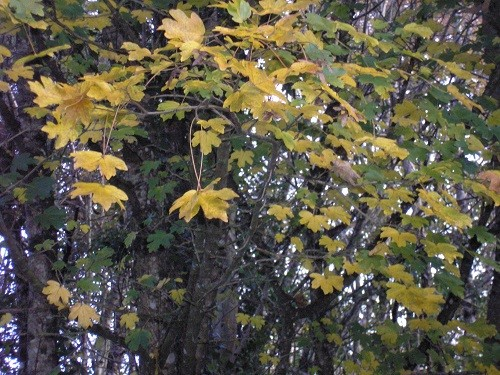 The Field Maple is one of our hedgerow trees, they turn a lovely buttery yellow.
