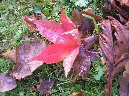 Osakazuki leaf