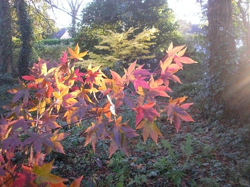 Sunshine and Acers