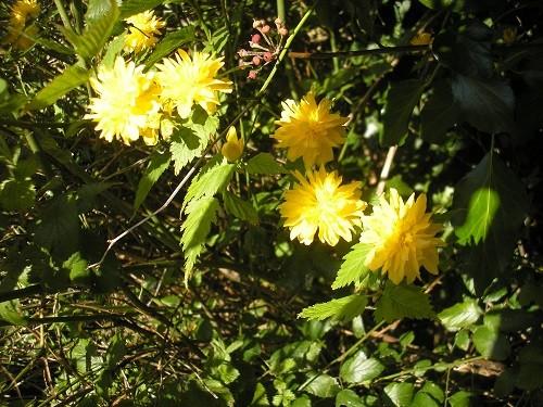 Kerrya japonica