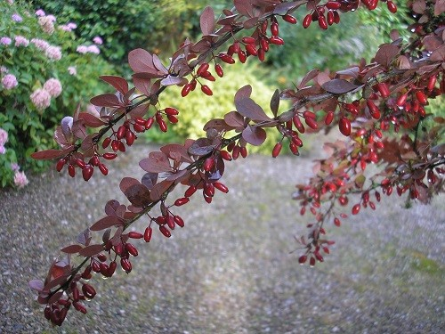 Purple Berberis