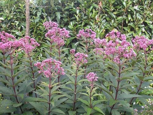 Eupatorium purpurium atropurpurium