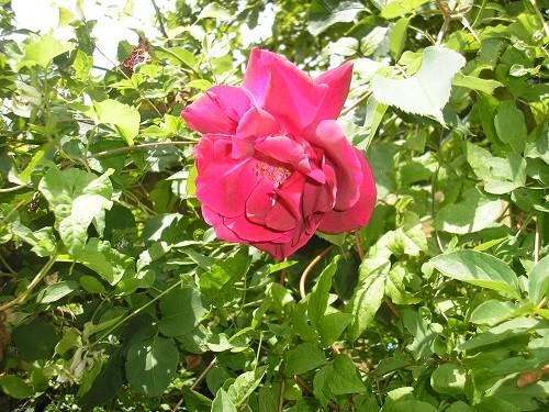 Dark red rose