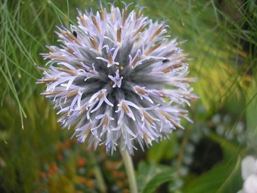Echinops  Taplow Blue.
