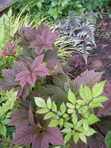Rodgersia,astilbe and japanese fern
