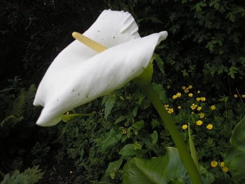 Zantedeschia aeothipica