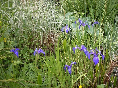 Pond Iris