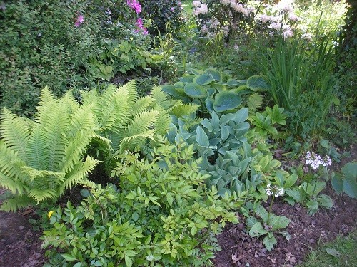The fern, Mateuccia struthiopteris, revels in the permantly damp soil, shown here with astilbe in front.