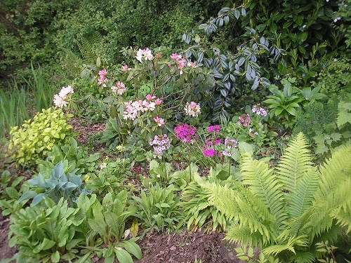 The rhododendron at the back of the border where it is drier, picks up the colours of the primulas.