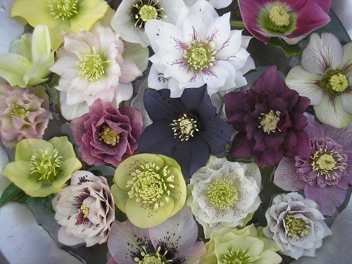Bowl of hellebores