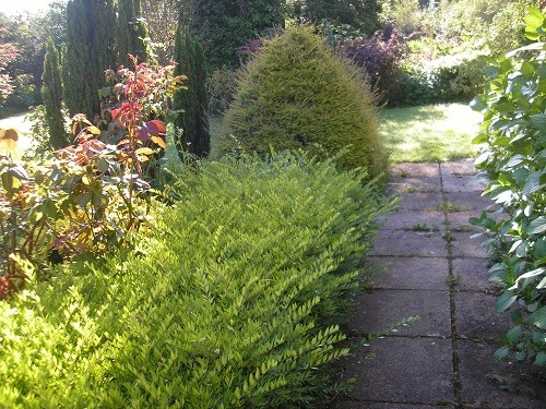 Lonicera hedge