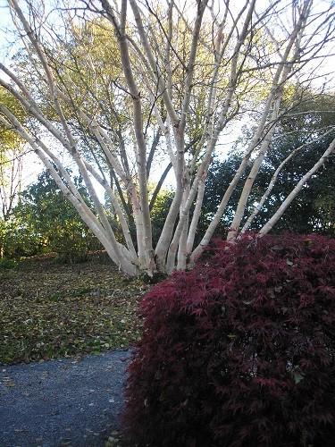 Betula ermanii.