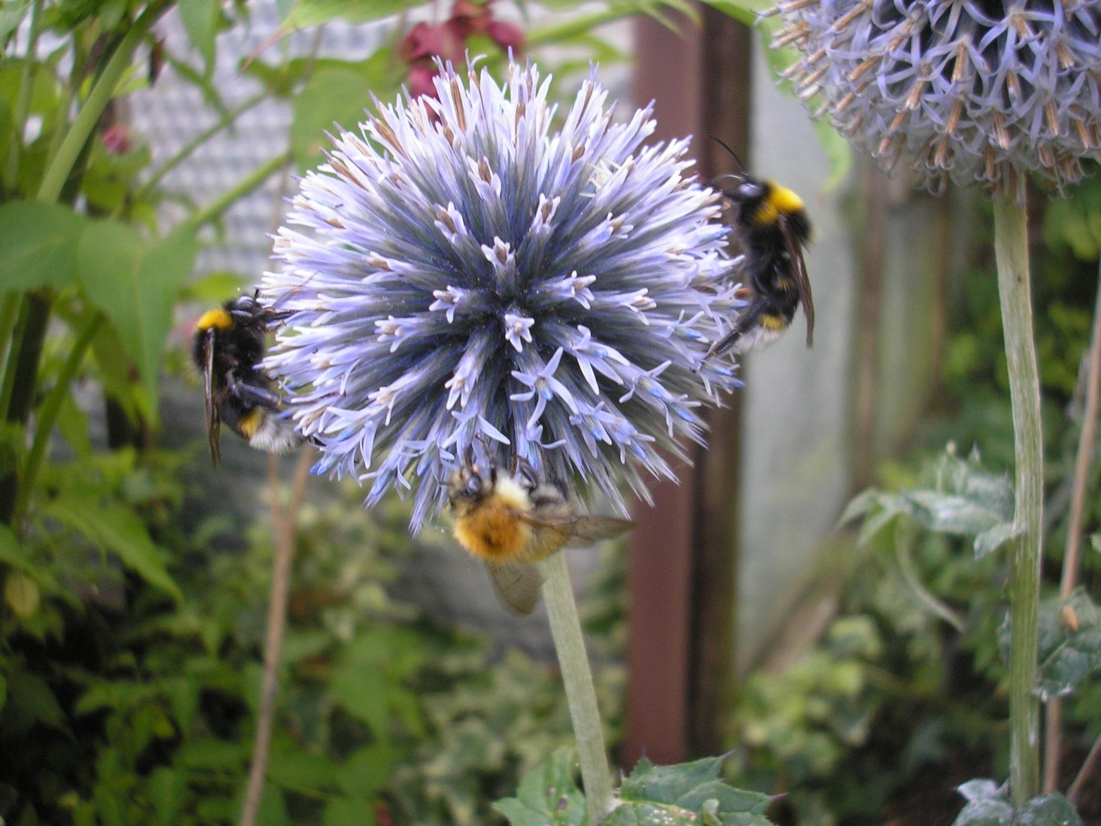 Bees feeding on Echinops ritro Taplow Blue