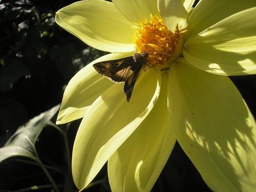 Dahlia with moth