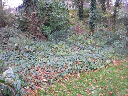 Masses of Ivy.