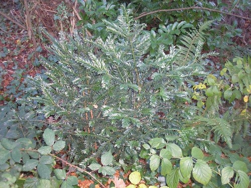 Little yew bush found hiding at the back of the border.