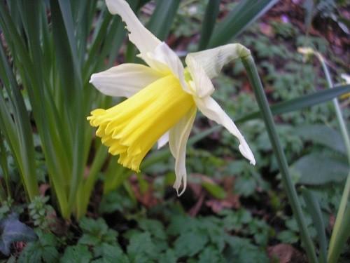 Narcissus Rinjveld's Early Sensation.