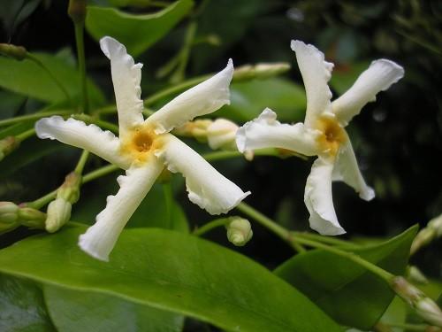 T. jasminoides