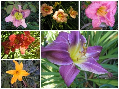 Collage daylilies