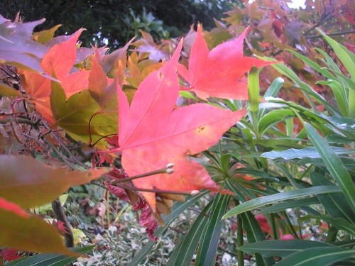 A Osakazuki leaves