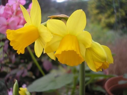 Narcissus Tete a Tete.