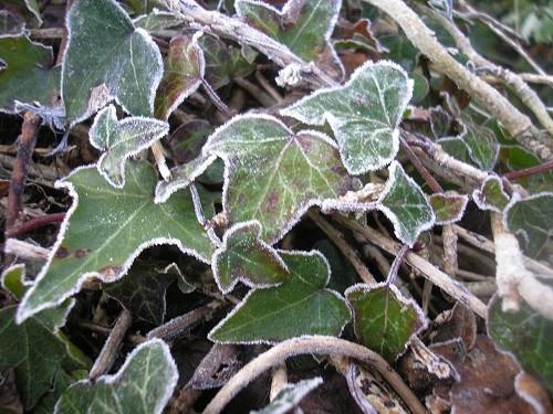 Frosty ivy.