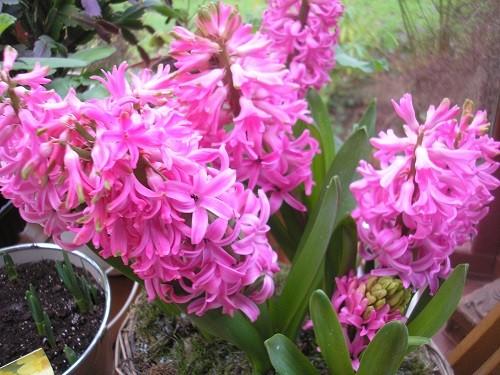 Hyacinths.