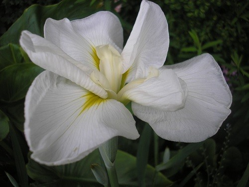 Iris ensata.