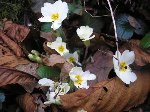 Wild Primula.