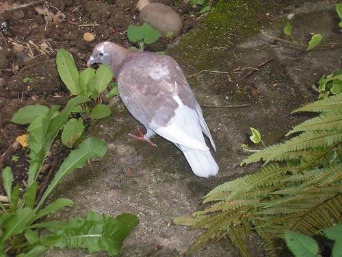 Racing pigeon.