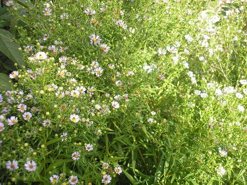 Michelmas daisy
