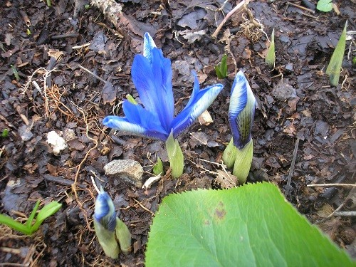 Another Iris reticulata on the slope at the end of the woodland.