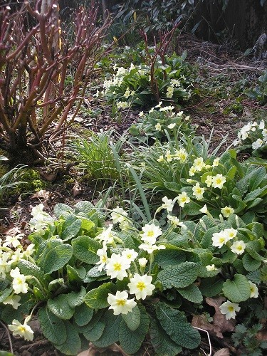 Primroses in the front