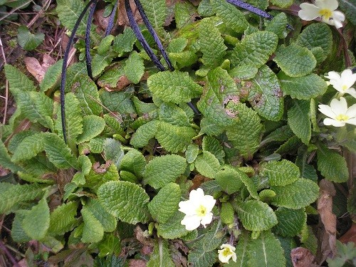 Primrose seedlings