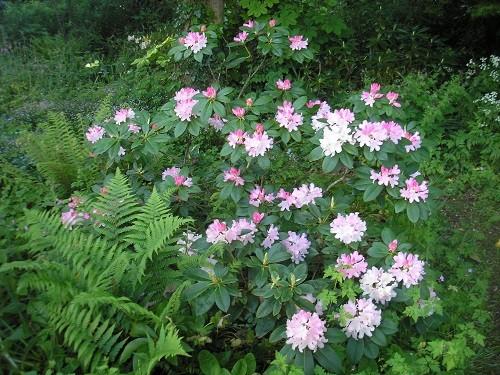Rhododendron Fantastica.