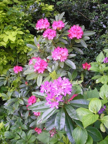 Rhododendron with ponticum shoot.