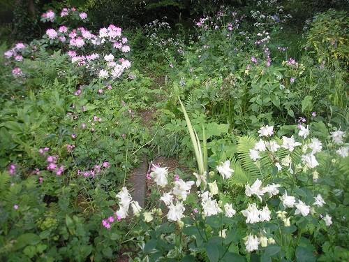 White Aquilegia in the woodland.