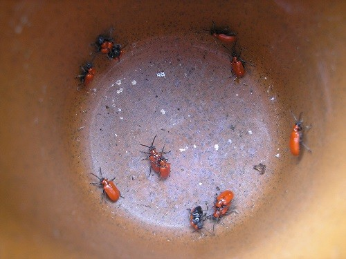 Just a few of the red lily beetles.