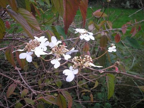 Viburnum plicatum Maresii.